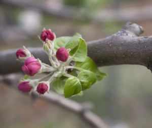 fruit tree bloom