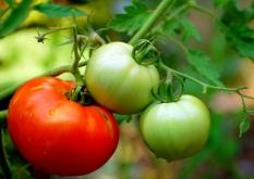 tomato-Manjith Kainickara