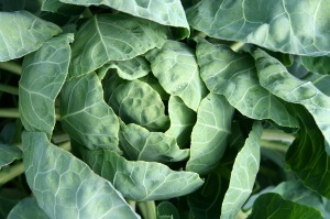 cabbage-1064621_1280