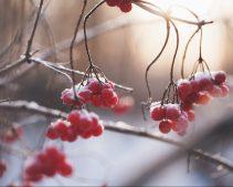 frost-berries-pexels