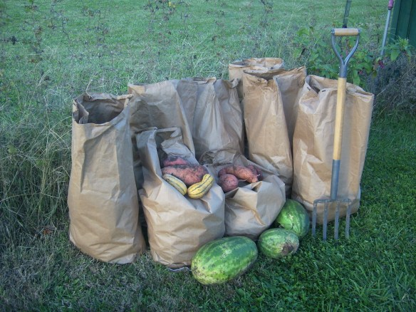 a huge late-season harvest of sweet potatoes and a few melons