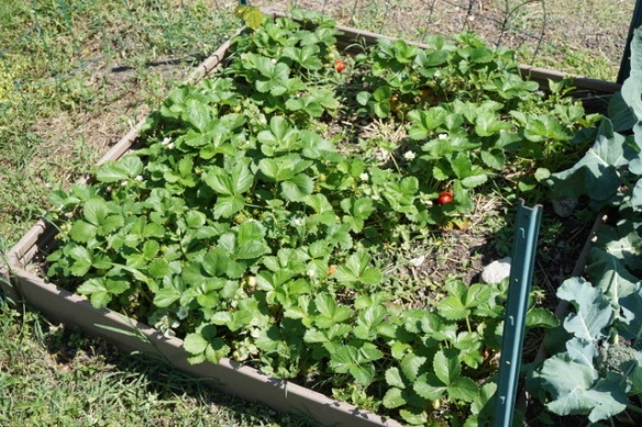 strawberry bed at Unite 4 Health garden