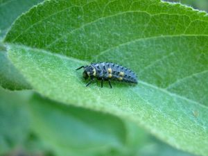 ladybug larva, photo by Mausy5043