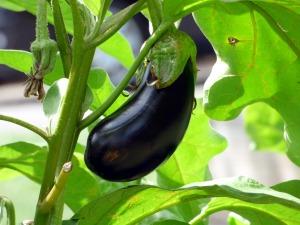 ripe eggplant on its plant