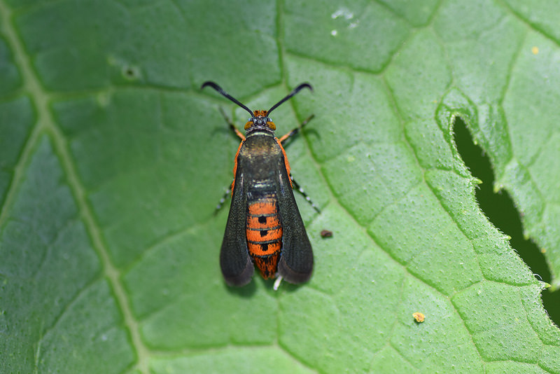 adult squash vine borer, photo by Jesse Christopherson