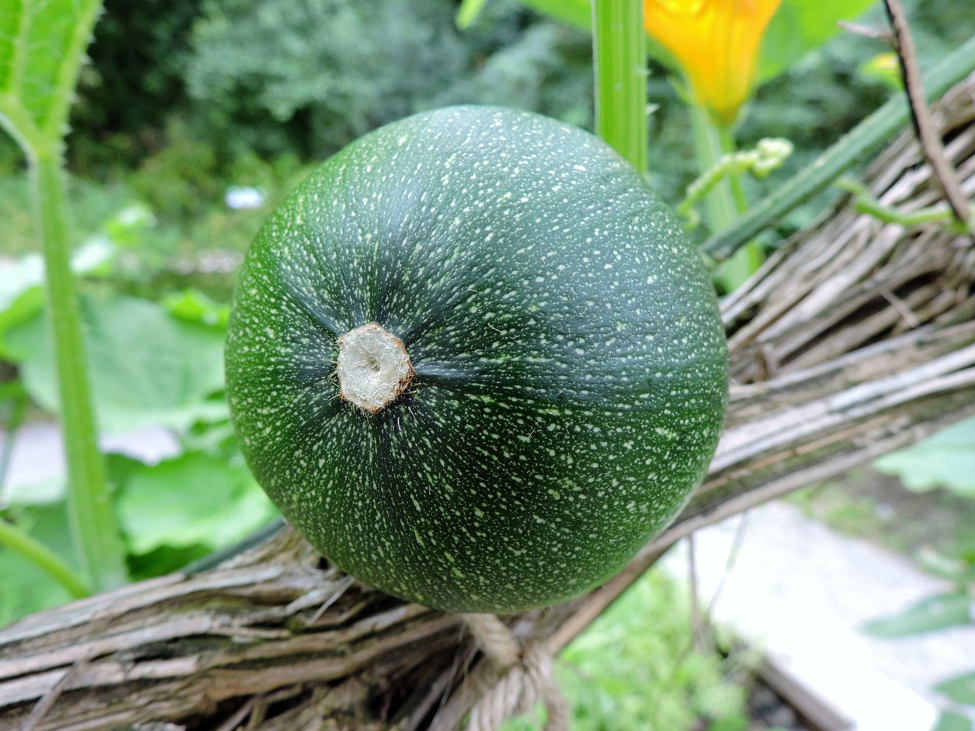 round zucchini growing