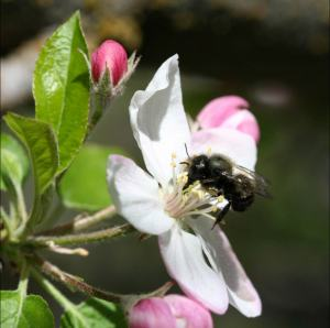 Picture of small dark bee on flower.