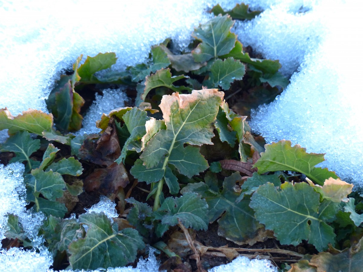 snow on leaves of a brassica