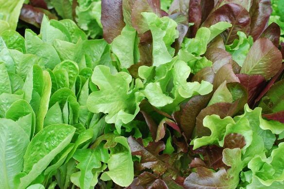 mixed baby lettuce