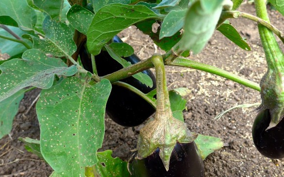 Eggplant with flea beetle damage.