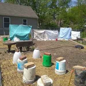 garden plants protected wih buckets and sheets