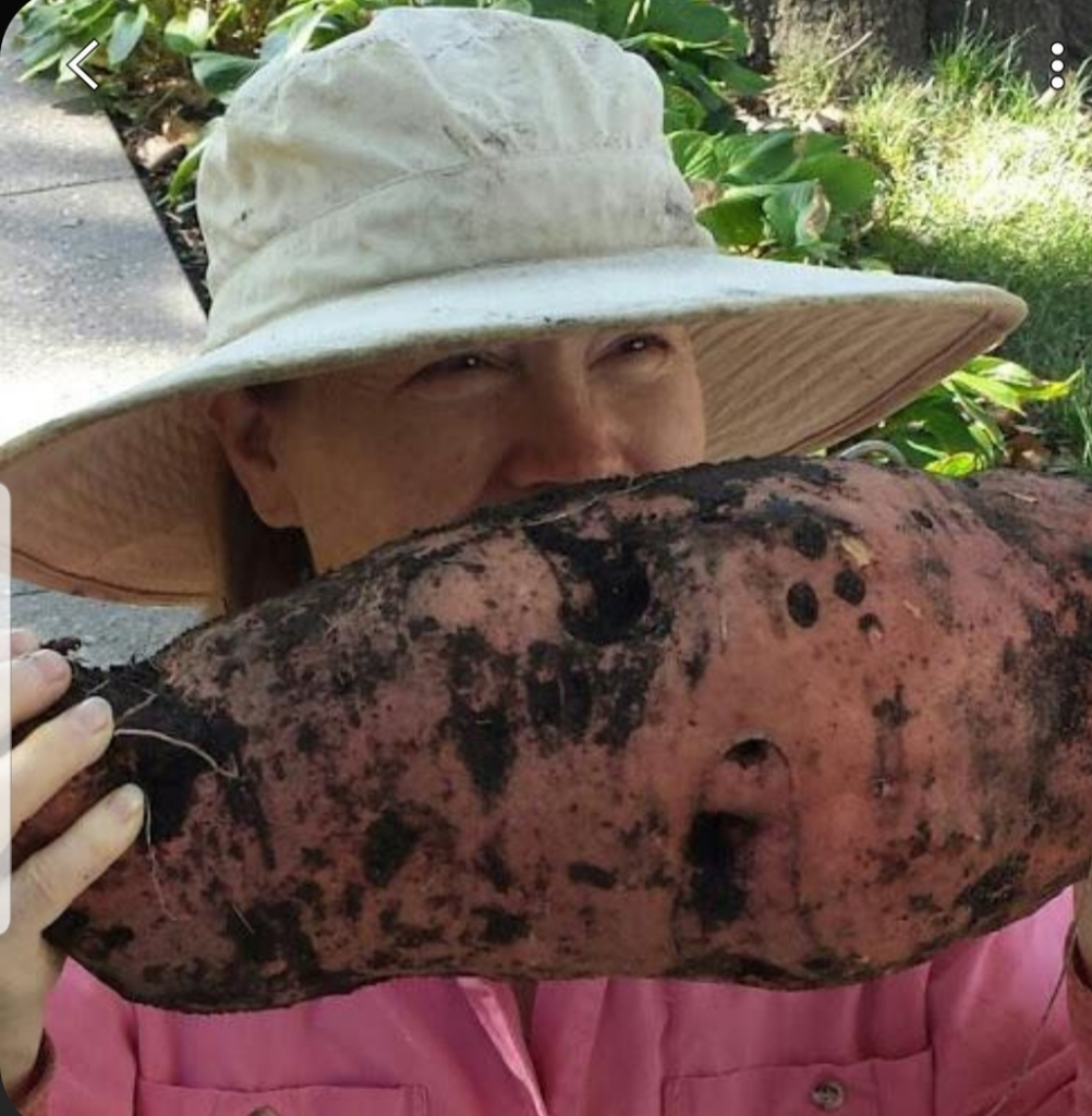 The author holding up a 12-pound sweet potato in front of her face.