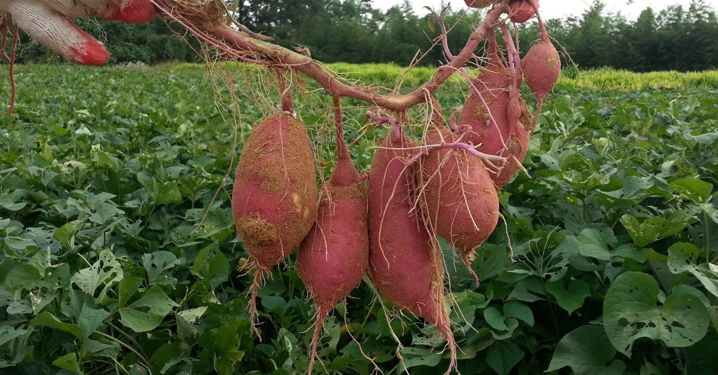 cluster of sweet potatoes just pulled out of the ground