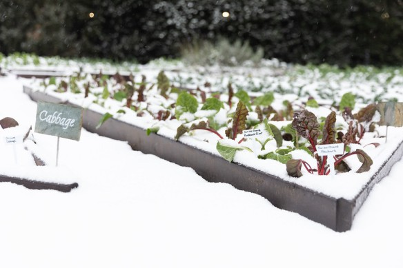 chicory seedlings in a raised bed wih light snow cover