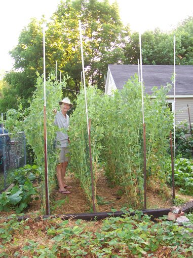 Kathy's husband standing between rows of trellised peas in their garden